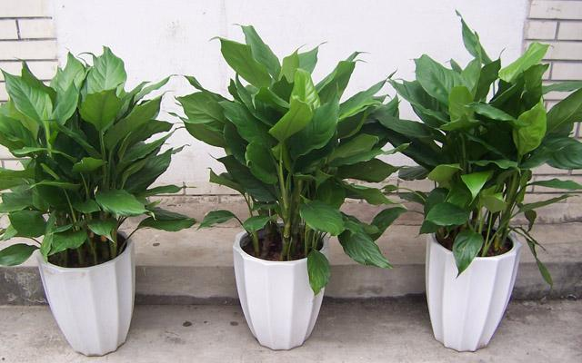 阳台风水植物